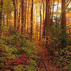 Autumn Splendor - Guelph Ontario Canada #art #photography #fall #autumn #landscape #gold #boardwalk #naturelover #artforsale #decor