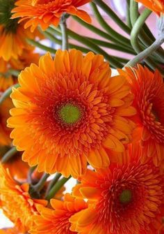 Exotic Flowers, Orange Flowers, Amazing Flowers, Beautiful Roses, My Flower, Beautiful Gardens, Beautiful Flowers, Gerbera Flower, Fleur Orange