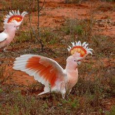 Australian birds a lot smarter than we might think - ABC News (Australian Broadcasting Corporation) All Birds, Cute Birds, Pretty Birds, Beautiful Birds, Animals Beautiful, Angry Birds, Flying Birds, Funny Birds, Polo Sul