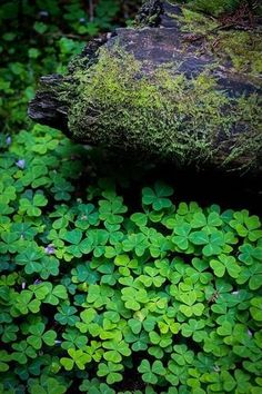 Clover in Muir Woods.