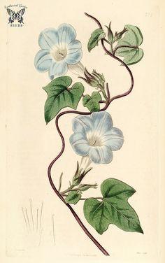 Ivy-leaved morning glory (1818)   Ipomoea caerulea Botanical…   Flickr