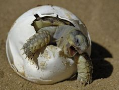 Baby turtle  did you know that if you help any animal out of it's own shell it will probly die cuz it has to build up it's strength  to survive and that is how it's supposed to do it?
