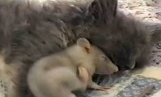 Mouse Cuddles with Cat (Video)