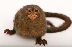 Pygmy marmoset (Amazon Basin) by Joel Sartore