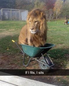 Last week, Obi was found in an unusual spot: a wheelbarrow. This Lion Got Into A Wheelbarrow At A Zoo And It Was Pretty Whimsical Funny Animal Memes, Cute Funny Animals, Funny Animal Pictures, Cute Baby Animals, Cat Memes, Cute Cats, Funny Cats, Funny Memes, Random Pictures
