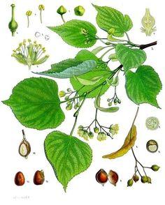 …... Botanical term: Tilia cordata