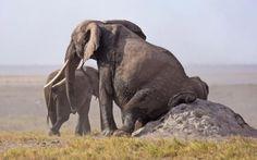 Curiosa imagen de un elefante aliviando unos picores de sus partes bajas en el Amboseli National Park, Kenya (Usha Harish, 2016)