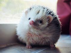 Hedgehog face