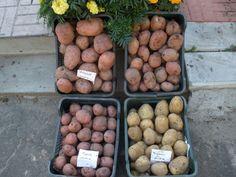 potato grown with aeroponics