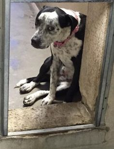 Surrendered dog heartbroken and in danger of being put down -according to the article her name is cookie-ID and at the LA county animal control Animal Shelter, Animal Rescue, Stop Animal Cruelty, Animal Control, Kinds Of Dogs, Pet Adoption, Animal Adoption, Rescue Dogs, Just In Case