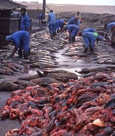 Namibia is responsible for the largest slaughter of marine mammals on earth.