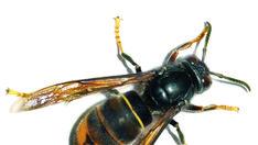 El «avispón asesino», la nueva plaga que pone en alerta a Estados Unidos en plena crisis por el coronavirus Insects, Vancouver Island, Assassin, News, Bugs