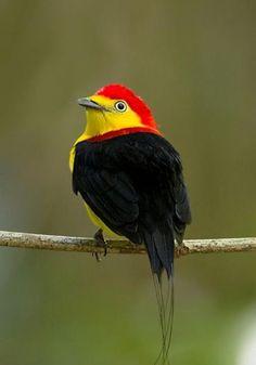 Lindíssimas fotos de aves coloridas. Há várias encontradas no Brasil.