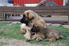Leonberger :) - hey this is the kind of dog i want!!!