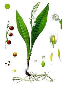 Lily of the Valley - Wikipedia, the free encyclopedia