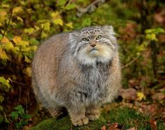 Pallas's cat (Otocolobus manul), also called manul, is a small wild cat with a broad but fragmented distribution in the grasslands and montane steppes of Central Asia. It is negatively affected by habitat degradation, prey base decline, and hunting, and has therefore been classified as Near Threatened by IUCN since 2002. The Pallas's cat was named after the German naturalist Peter Simon Pallas, who first described the cat in 1776 under the binomial Felis manul.