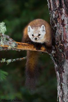 Curious Pine Marten by Daniel Cadieux**