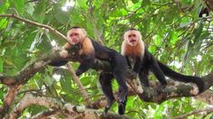 Capuchin Monkeys, Costa Rica by Lyuba Ivleva - Photo 75063051 / 500px