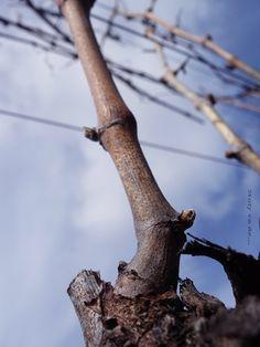 Los últimos sarmientos que quedan por cortar, esperan su momento para su próximo renacer#Molyvade #silbandoaltrabajar #PININO http://molyvade.blogspot.com.es/2016/03/invierno.html