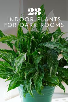 If you're looking for plants that don't require tons of sunlight check out this list of 23 of our favorite low-light plants. garden 23 of Our Favorite Low-Light Houseplants Indoor Plants Low Light, Best Indoor Plants, House Plants Decor, Garden Plants, Veg Garden, Landscaping Plants, Jouer Au Poker, Easy Care Houseplants, Plans Architecture