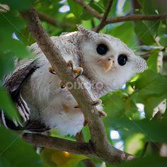 http://www.pixoto.com/images-photography/animals/birds/malay-eagle-owl-19025587.jpg Grand-duc bruyant