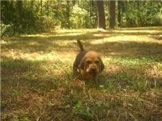 Bloodhound Puppies in Louisiana #bloodhound puppies
