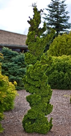 Chamaecyparis obtusa 'Spiralis' is a very slow growing, narrow, irregular upright growing selection of Hinoki cypress with distinctive and desirable twisted branche… Evergreen Garden, Evergreen Shrubs, Garden Trees, Trees To Plant, Garden Plants, Outdoor Plants, Outdoor Gardens, Hinoki Cypress, Dwarf Trees