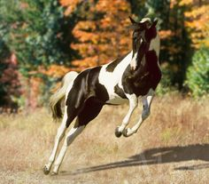American Paint Horse, Brown and white-firefly Types Of Horses, Horses And Dogs, Cute Horses, Horse Love, Most Beautiful Animals, Beautiful Horses, Beautiful Creatures, American Paint Horse, Majestic Horse