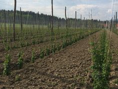 A nicely cultivated and very clean field of Celeja hops.  Picture taken in May 2014 during a trip by 47Hops to the region.