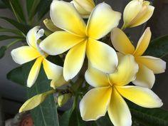 Hawaiian Lei Flower, Hawaiian Plants, Flower Lei, Tropical Plants, Flower Pots, Tropical Pool, Tropical Garden, Plumeria Tree, Plumeria Flowers