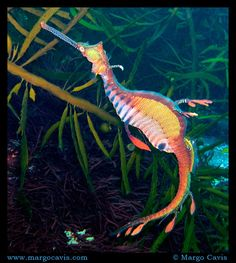 These marine fish are called sea dragons, they are related to the seahorse and they are really cute. There are two types of the sea dragon: the leafy and the weedy sea dragons. Weedy Sea Dragon, Dragon Fish, Marine Aquarium, Marine Fish, Nano Aquarium, Beautiful Creatures, Animals Beautiful, Colorful Seahorse, Beneath The Sea