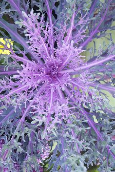Ornamental Kales and Cabbages come in a wide variety of colors and shapes. They have a biennial life cycle- the first year is normal foliage and if it survives the winter it blooms in the spring of the second year. Many varieties are hardy to zones Exotic Plants, Exotic Flowers, Beautiful Flowers, Winter Plants, Winter Flowers, Cabbage Plant, Cabbage Roses, Flowering Kale, Ornamental Cabbage