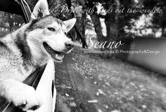 Driving With Dogs Project, By Sean Botha. Distracted Driving, Drunk Driving, Husky, Creatures, Puppies, Horses, Eye, Cats, Photography