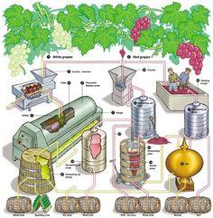 White Wine vs Red Wine Process.