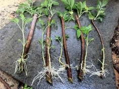 Growing Elderberry From Cuttings: Step-By-Step Instructions wachsen-Holunder-from-Stecklinge Elderberry Cuttings, Elderberry Plant, Elderberry Growing, Elderberry Syrup, Elderberry Ideas, Growing Roses, Growing Plants, Flora Und Fauna, Natural