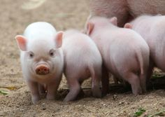 Miniature Pigs - Bing Images