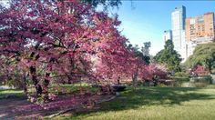 Parque japonês  Cerejeiras  Buenos Aires