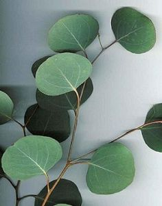 Check out the deal on Eucalyptus polyanthemos 250 seeds at Hazzard's Seeds Seeded Eucalyptus, Eucalyptus Leaves, Eucalyptus Centerpiece, Eucalyptus Shower, Eucalyptus Bouquet, Eucalyptus Wedding, Australian Native Flowers, Australian Plants, Leaf Photography