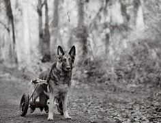 """A vida de um cão não é tão longa quanto a nossa, o que torna seu tempo enquanto está conosco limitado e por isso mesmo precioso. A fotógrafa americana Nancy LeVine passou por essas reflexões quando viu seus cachorros envelhecerem """"rápido"""" demais, e ela resolveu sair pelos estados americanos fotografando cães idosos com uma sensibilidade típica de quem gosta muito desses animais, e por isso conseguiu capturar imagens emocionantes e excepcionalmente bem produzidas."""
