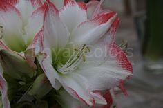 Have a nice day and hope you enjoy this  Sofie  #amaryllis #Hippeastrum #амариллис #アマリリス #孤挺花 #amarilis#flowerlovers royalcolors.com #flowers #royalcolors #Floral #Flower#Bloom #Beautiful #Amazing #bulbs #keukenhof #Netherlands