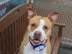 Brooklyn Center FIDDLESTICKS – A1069471 FEMALE, WHITE / TAN, PIT BULL MIX, 2 yrs STRAY – STRAY WAIT, NO HOLD Reason STRAY Intake condition EXAM REQ Intake Date 04/05/2016, From NY 11221, DueOut Date04/08/2016