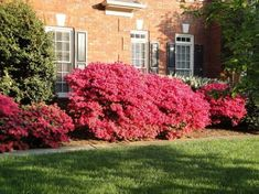 We currently have two azaleas that are an amazingly bright red-pink. My dream house would have one of these at the base of a trellis, where deep purple clematis would climb.