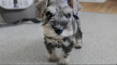 Chumpie, a 7 week old miniature schnauzer puppy adjusts to his new home and new parents. Subscribe for more!