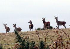 Deer on Grabbist Hill, Dunster.