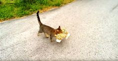 Sneaky Cat Steals Stuffed Tiger And It's The Cutest Crime You Will Ever Witness | The Animal Rescue Site Blog