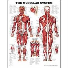 Anatomy Chart Muscular System Poster 20 X 26 Lamnt