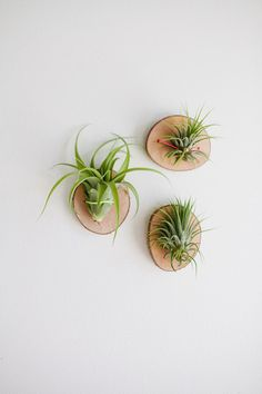 little log rounds -- mount the air plants. voila - beautiful, natural display