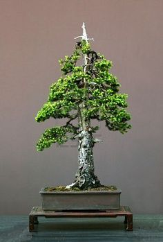 European spruce, Picea abies, 90 cm high, 150 years old, collected in Germany, styled by Waltre Pall, pot by Derek Aspinall, formal upright form, picture 452006 Stock Photo