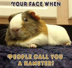 I can't stand when someone calls guinea pigs hamsters!! They're so different!