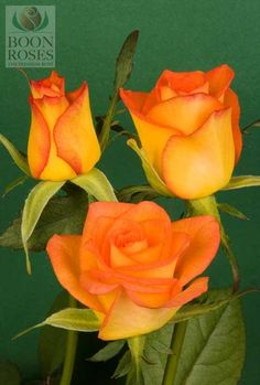 Yellow And Orange Roses Name As the name suggests this rose